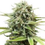 Fire OG Feminized Seeds for sale USA