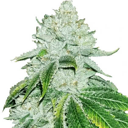 Gelato Feminized Seeds for sale from IGLM