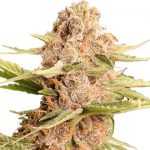 Girl Scout Cookies Feminized Seeds for sale USA