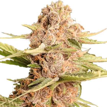 Girl Scout Cookies Feminized Seeds for sale from IGLM