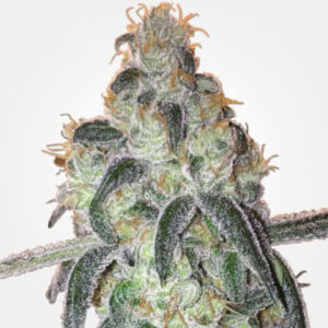 Girl Scout Cookies Feminized Seeds for sale from MSNL