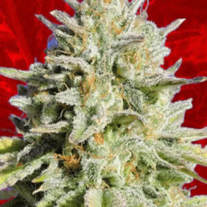 Gorilla Glue Feminized Seeds for sale from Crop King