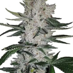 Gorilla Glue Feminized Seeds for sale from IGLM