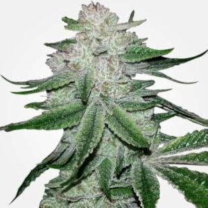Gorilla Glue Feminized Seeds for sale from MSNL