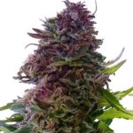 Grand Daddy Purple Feminized Seeds for sale USA