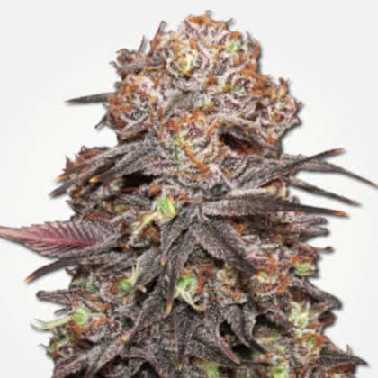 Granddaddy Purps Feminized Seeds for sale from MSNL