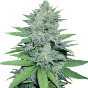 Green Crack Feminized Seeds for sale from Crop King