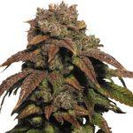 Green Crack Feminized Seeds for sale USA