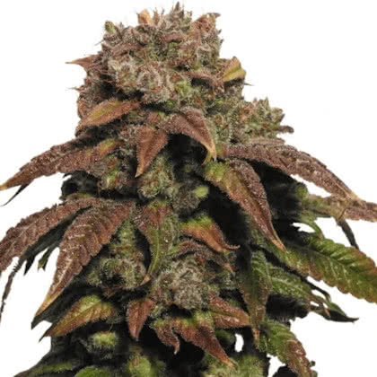 Green Crack Feminized Seeds for sale from IGLM