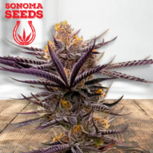 Maui Wowie Feminized Seeds for sale from Sonoma
