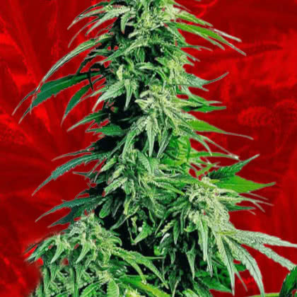 Hindu Kush Feminized Seeds for sale from Crop King