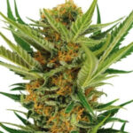 Jack Herer Feminized Seeds for sale USA