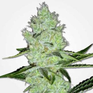 Jack Herer Feminized Seeds for sale from MSNL