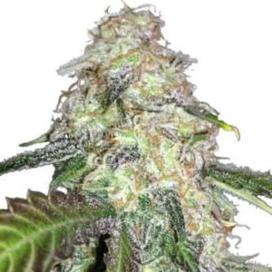 LSD Feminized Seeds for sale from IGLM