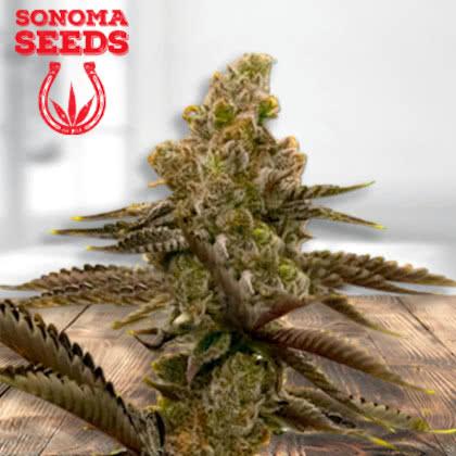 LSD Feminized Seeds for sale from Sonoma