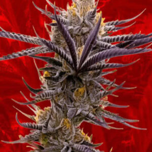 Maui Wowie Feminized Seeds for sale from Crop King