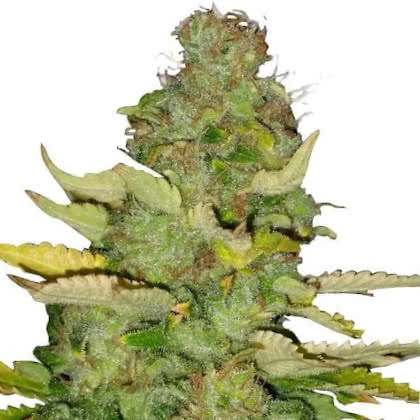Maui Wowie Feminized Seeds for sale from IGLM