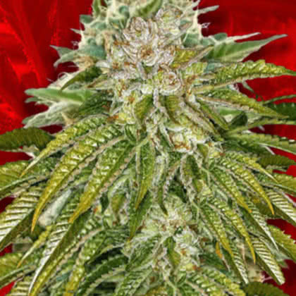 MK Ultra Feminized Seeds for sale from Crop King