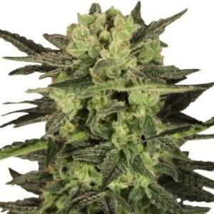 MK Ultra Feminized Seeds for sale from IGLM