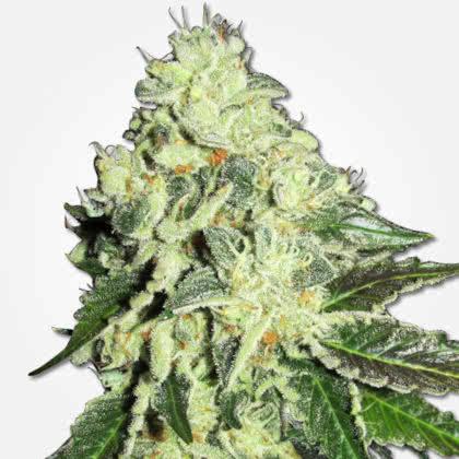 Nitro Lemon Haze Feminized Seeds for sale from MSNL