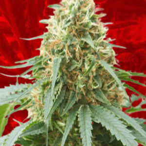 Northern Lights Feminized Seeds for sale from Crop King