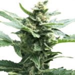 Northern Lights Feminized Seeds for sale USA
