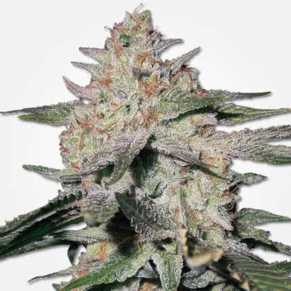 Northern Lights Feminized Seeds for sale from MSNL