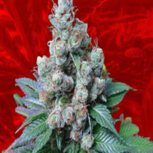 Diesel Feminized Seeds for sale from Crop King