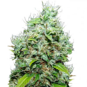 NYC Diesel Feminized Seeds for sale from IGLM