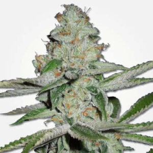 NYC Diesel Feminized Seeds for sale from MSNL