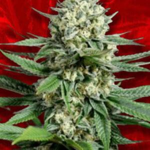 OG Kush Feminized Seeds for sale from Crop King