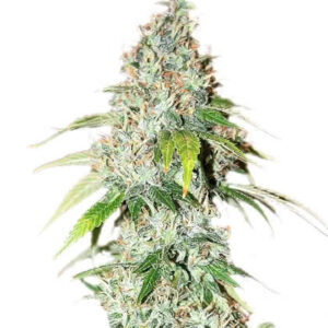 OG Kush Feminized Seeds for sale from IGLM