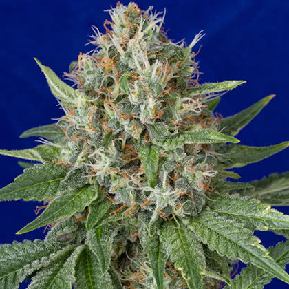 OG Kush Feminized Seeds for sale from Seedsman by Humboldt Seed Organization
