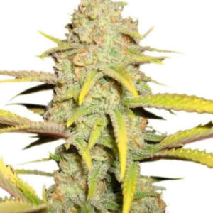 OG Kush Feminized Seeds for sale from Seedsman by Royal Queen Seeds