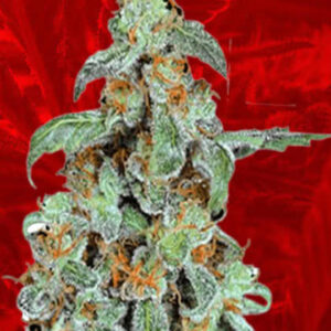 Orange Bud Feminized Seeds for sale from Crop King