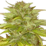 Orange Bud Feminized Seeds for sale USA