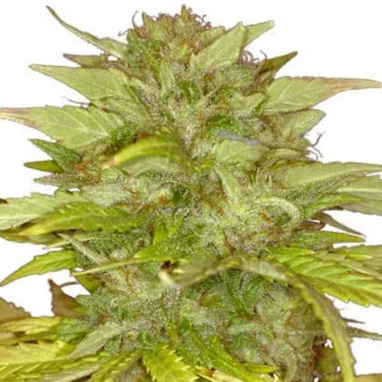 Orange Bud Feminized Seeds for sale from IGLM