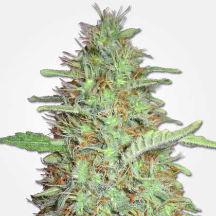 Orange Bud Feminized Seeds for sale from MSNL