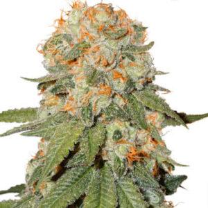 Orange Bud Feminized Seeds for sale from Seedsman by Dutch Passion