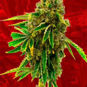 Pineapple Haze Feminized Seeds for sale from Crop King