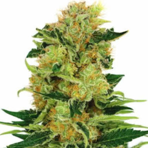 Pineapple Haze Feminized Seeds for sale from IGLM