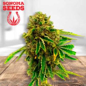 Pineapple Haze Feminized Seeds for sale from Sonoma