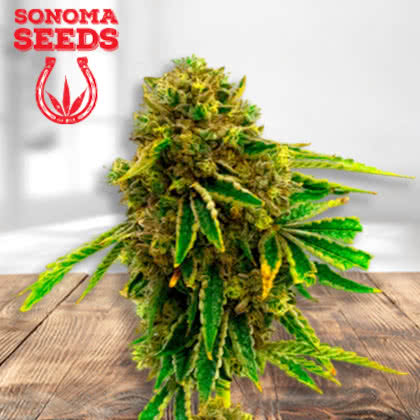 Pineapple Haze Feminized Seeds for sale from Sonoma