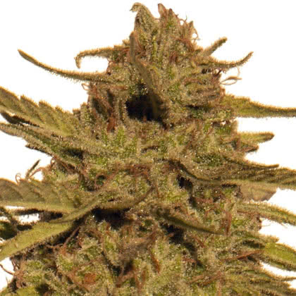 Pineapple Haze Regular Seeds for sale from Seedsman by Barney's Farm