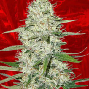 Power Plant Feminized Seeds for sale from Crop King