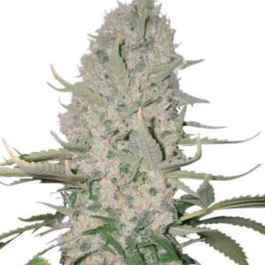 Power Plant Feminized Seeds for sale from IGLM