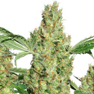 Power Plant Feminized Seeds for sale from Seedsman by Dutch Passion