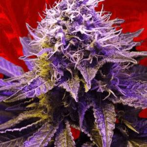 Purple Haze Feminized Seeds for sale from Crop King