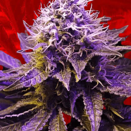 Purple Haze Feminized Seeds for sale from Crop King