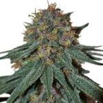 Purple Haze Feminized Seeds for sale USA
